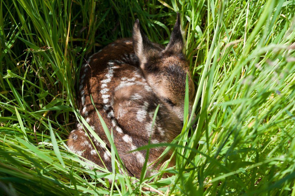 Kitz drückt sich ins Gras. Bild: Kaufmann/DJV